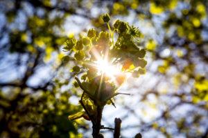 Un árbol que tiene los granos de polen que Allison Steiner, profesor U-M y su equipo de investigadores creen que pueden sembrar nubes. Cuando el polen de estos árboles se moja, se descompone en partículas más pequeñas que pueden contener condensación para la formación de nubes. Crédito de la imagen: José Xu, Comunicaciones y Marketing, Michigan Engineering