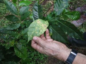 Lesiones de roya del cafeto en una granja orgánica en Chiapas, Mexico. Imágen: Bill Foreman/Michigan News.