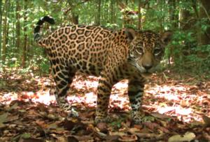 Un jaguar pasea en el parque Floresta Nacional de Caxiuanã en Brasil. Cortesía de TEAM.