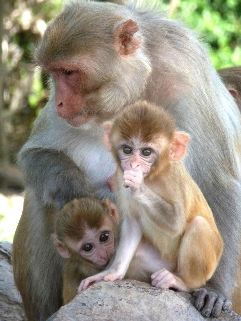 Una madre mono y sus crías en Cayo Santiago. Crédito de foto: Alexandra Rosati, Universidad de Michigan.