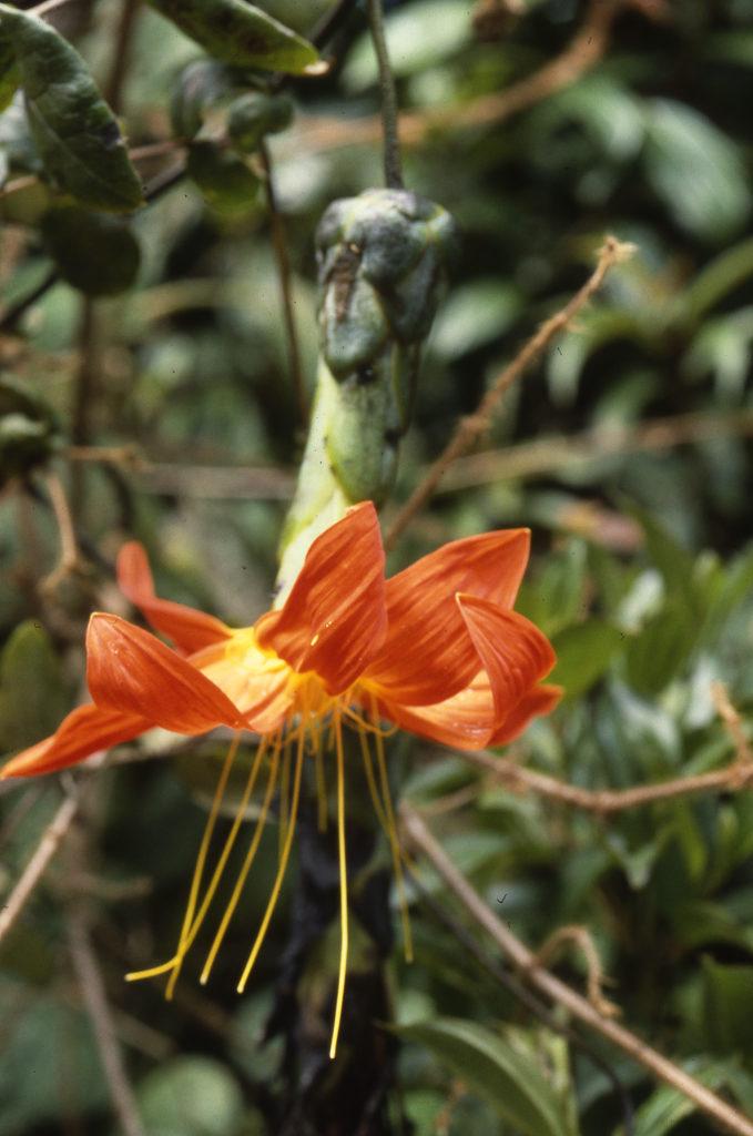 Mutisia magnífica, una planta restringida a Ecuador. Es miembro de la familia Asteraceae, la segunda familia de plantas más diversa de América. Foto de C. Ulloa.