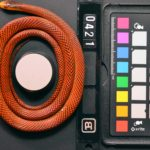 Cuantificación digital de los padrones y colores de una imitadora <em>Oxyrhopus formosus. </em> Foto: Alison Davis Rabosky