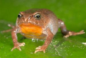 La bryophryne hanssaueri es una de las 22 especies incluídas en el estudio de la rana peruana. Los individuos de esta especie tienen una garganta y un vientre anaranjados brillantes. Los adultos varían típicamente en tamaño de 0.47 a 1.13 pulgadas (1.20 - 2.87 centímetros) en longitud. Estas ranas viven bajo musgos y hojas de basura en el bosque de alta elevación entre 10.480 y 11.250 pies, justo debajo de la línea de árboles. Al igual que otras especies bryophryne, las hembras asisten a los embriones de desarrollo directo hasta que eclosionan en pequeñas ranitas. Foto de Alessandro Catenazzi.