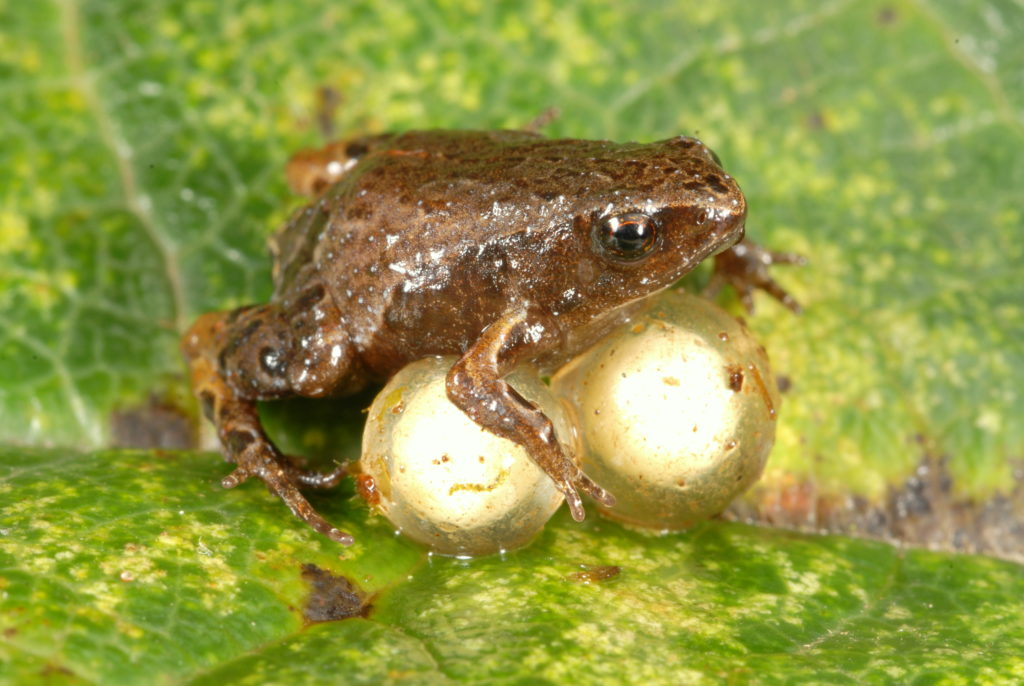 Otra especie incluida en el estudio de la rana peruana fue Noblella pygmaea, la rana más pequeña de los Andes, vista aquí guardando dos huevos. Estas ranas se encuentran en la hojarasca de bosques nubosos y enanos en elevaciones entre 8,934 y 10,990 pies. Los adultos varían típicamente en tamaño de 0.41 a 0.56 pulgadas (1.03 - 1.42 centímetros). Foto de Alessandro Catenazzi.