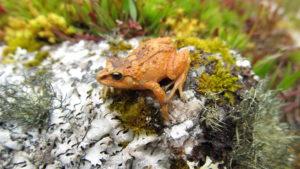 """Pristimantis bounides, conocidas a partir de dos sitios a alturas de 10.991 pies y 11.362 pies. El nombre de la especie """"bounides"""" se deriva del sustantivo griego """"bounos"""", que significa """"habitante de las colinas"""" y se refiere al hábitat de los bosques montanos donde se encontró esta rana. Foto de Rudolf von May."""