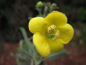 Columellia oblonga, una planta de la familia Columelliaceae, que es endémica de las Américas. Foto de C. Ulloa.