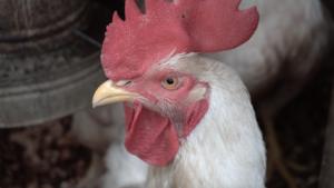 Investigadores de la Universidad de Michigan están estudiando si la introducción del pollo de engorde 'broilers', como el de la foto, en un área rural en Ecuador ha afectado la presencia de bacterias resistentes a antibióticos en los niños.