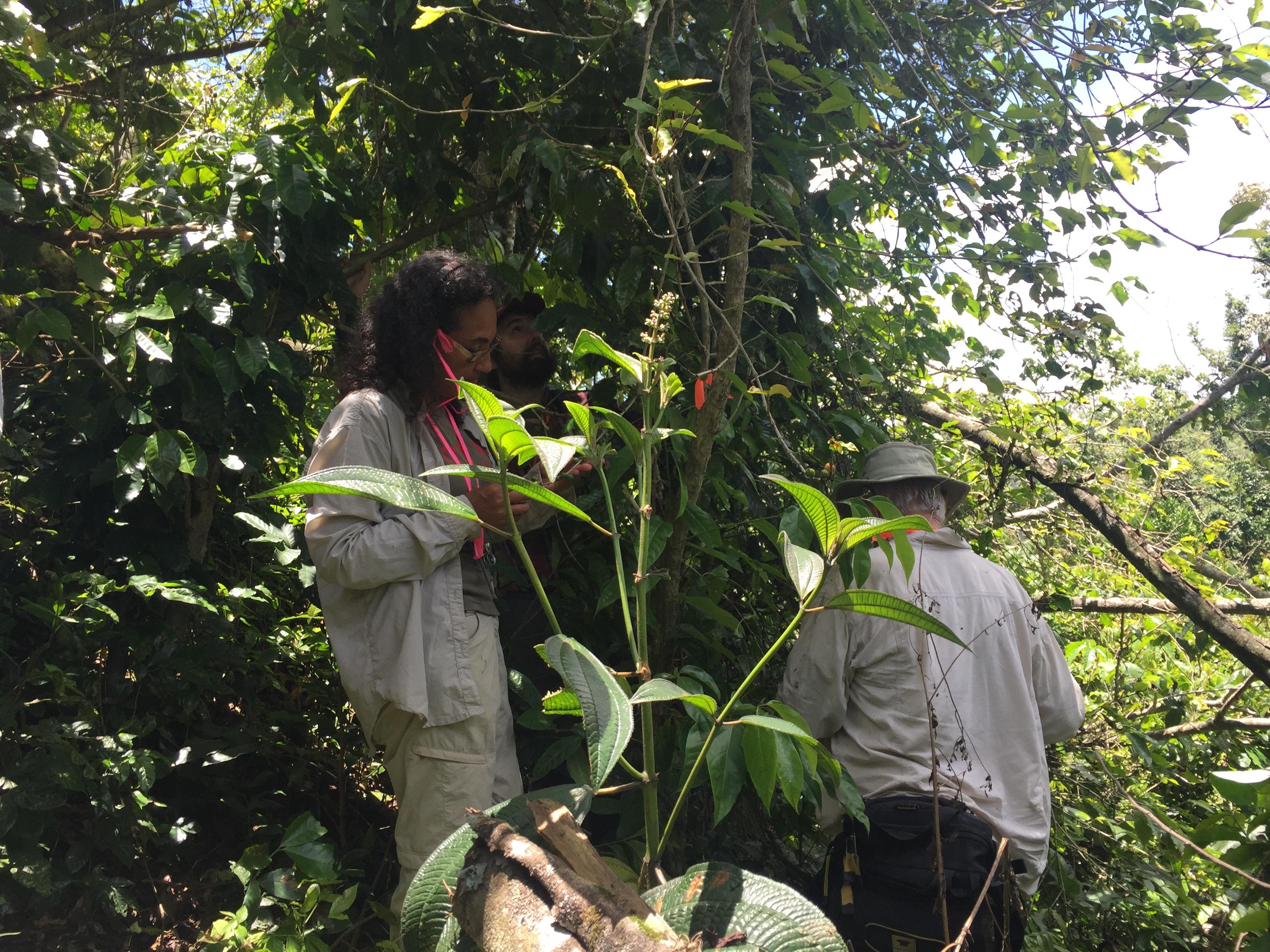 Los profesores de U-M Ivette Perfecto y John Vandermeer estudian una finca de café cerca de Utuado, Puerto Rico, como parte de su proyecto para evaluar la biodiversidad de las fincas de café que funcionan dentro del bosque modelo de Puerto Rico. Su estudio también analiza la resistencia y la resistencia de las fincas de café después de los huracanes. El estudiante de doctorado Zachary Hajian-Forooshani se puede ver en la parte posterior. Crédito de foto: Nardy Baeza Bickel.
