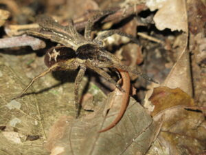 Una araña errante (Ctenidae) cazando una lagartija. Foto de Mark Cowan, en Anfibios y Conservación de Reptiles (amphibian-reptile-conservation.org).