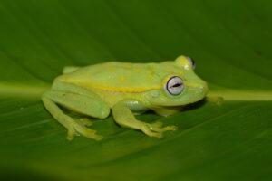Reportan las primeras infecciones generalizadas por hongo quítrido en ranas de la selva amazónica peruana