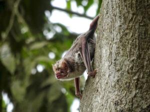 Un murciélago vampiro en un árbol en una área rural cerca de Lima, Perú. En el estudio, los murciélagos vampiro fueron capturados y tratados con gel fluorescente rojo que simula una vacuna oratópica contra la rabia. Estas vacunas se aplican de manera oral y tópica y se propagan entre los murciélagos vampiros, que se acicalan entre sí como parte de sus relaciones sociales. Crédito de foto: Kevin Bakker, Universidad de Michigan.