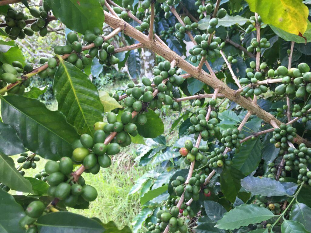 Cafetal en Puerto Rico